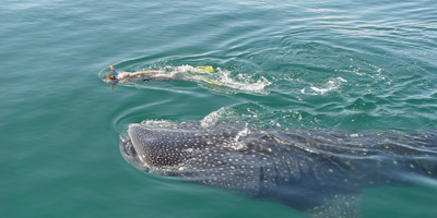 Swim with Whale Shark, Activities in Cancun