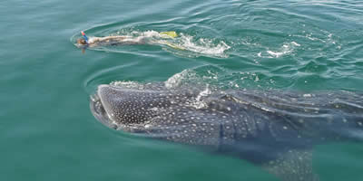 Swim With Whale Shark, Activities in Playa del Carmen